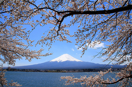 Mount Fuji with sakura