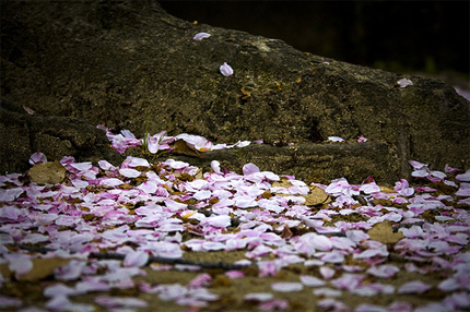 Sakura blossoms on the ground