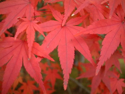 Momiji Leaves in Japan